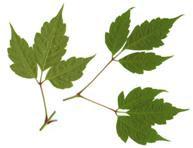 Una de las plantas para tratar la Fibrosis Quística