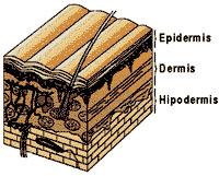 Estructura de la piel, con la Epidermis, la Dermis y la Hipodermis, que pueden sufrir quemaduras