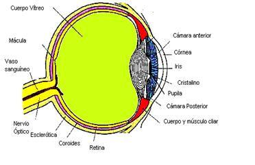 Anatomía del ojo para entender mejor los síntomas del Retinoblastoma. Texto explicativo