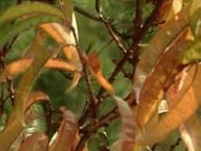 Plantas que se usan en la esclerosis múltiple