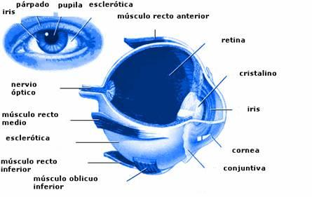 esquema del ojo, partes que pueden verse afectadas con la Uveítis